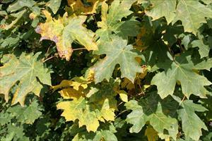 Bigleaf Maple Acer Macrophyllum Pnw Plants