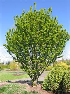 Shishigashira Japanese Maple Acer Palmatum Shishigashira Pnw