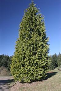 Western Redcedar Thuja Plicata Pnw Plants