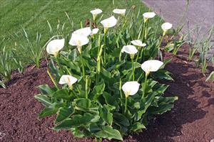 Calla Lilly Zantedeschia Aethiopica Pnw Plants